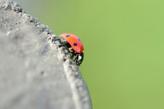 Ladybeetle Στοκ φωτογραφίες με δικαίωμα ελεύθερης χρήσης
