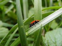 Ladybeetle Στοκ Φωτογραφία