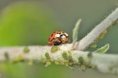 Ladybeetle eating. Louses on a tree Stock Photo