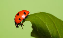 Ladybeetle Stock Photography