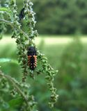 Ladybeetle grub on stalk Stock Photography