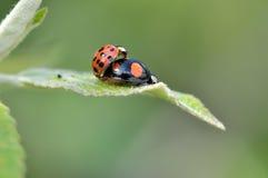 Ladybeetle. Makinig love on a leaf Royalty Free Stock Photography