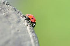 Ladybeetle. Scrambling on a stump Royalty Free Stock Photos