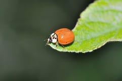 Ladybeetle. Sitting on a leaf Stock Photography