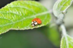 Ladybeetle. Sitting on a leaf Stock Image