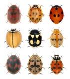 Ladybird ścigi zdjęcia stock