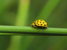 ladybird żółty Zdjęcia Royalty Free