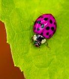 Ladybird арлекина стоковая фотография