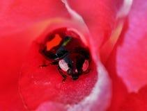 Ladybird арлекина стоковая фотография rf
