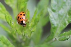 Ladybird арлекина Стоковое Изображение RF