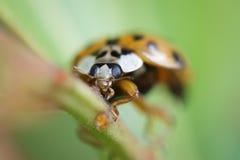 Ladybird арлекина Стоковые Изображения