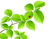 ladybird ветви предпосылки флористический зеленый Иллюстрация вектора