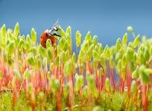 Ladybird в мхе Стоковые Фото