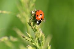 Ladybird в траве Стоковое фото RF