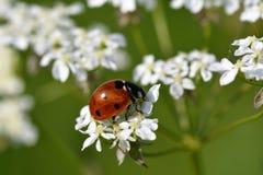 Ladybird в траве Стоковая Фотография