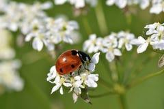 Ladybird в траве Стоковое Изображение
