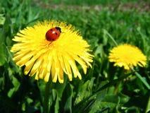 ladybird ленивый Стоковая Фотография RF