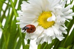 ladybird маргаритки Стоковые Фото