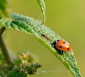 ladybird муравея Стоковые Фото