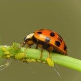 ladybird нападения тлев Стоковая Фотография