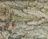 Ladybird на дереве Ladybug с слепыми пятнами на крылах Стоковые Изображения RF