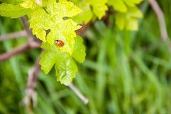 Ladybird на зеленых лист на левой стороне Стоковая Фотография RF