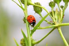 Ladybird на лист Стоковое Фото