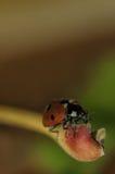 Ladybird на лист Стоковое фото RF