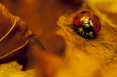 Ladybird на лист Стоковое Изображение