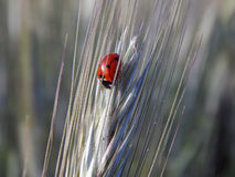 Ladybird на конце-вверх колоска пшеницы Стоковое фото RF