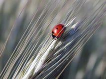Ladybird на конце-вверх колоска пшеницы Стоковая Фотография RF