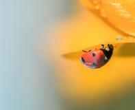 Ladybird на крокусе стоковая фотография rf