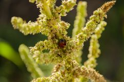 Ladybird на черенок амаранта стоковое фото