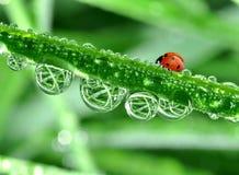 ladybird росы Стоковые Фотографии RF