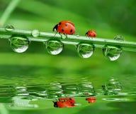 ladybird росы Стоковое фото RF
