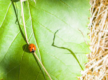 Ladybird сидит на лист дерева Стоковое фото RF
