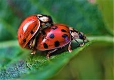 Ladybird соединяя в июне 2019 стоковое фото rf