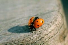 ladybird с готового взятия Стоковое фото RF
