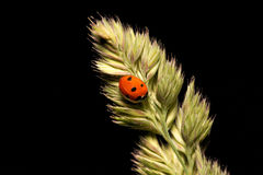 Ladybird. It is photographed by close up Royalty Free Stock Image