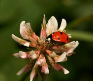 Ladybird. It is photographed by close up Royalty Free Stock Photography