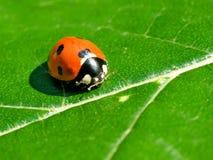 Ladybird. Royalty Free Stock Image