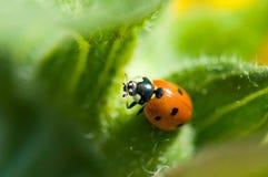Ladybird. Macro of a ladybug sitting on leaf of field Royalty Free Stock Images