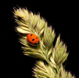 Ladybird Royalty Free Stock Photo