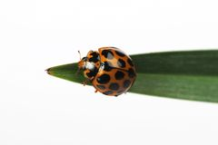 Free Ladybird Royalty Free Stock Photography - 1230647