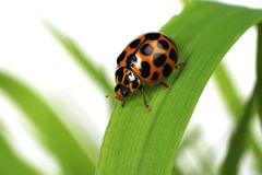 ladybird Стоковое Изображение