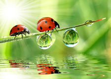 Ladybird. Fresh morning dew and ladybird Royalty Free Stock Image