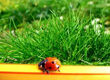 Ladybird. On a pencil over grass background Royalty Free Stock Photo