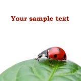 Ladybird. Macro of a ladybug sitting on leaf, isolated on white background Royalty Free Stock Photos