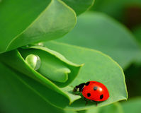 Free Ladybird Stock Photos - 14092853