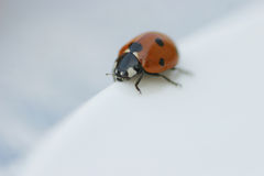 Ladybird. Close up of a ladybird Royalty Free Stock Photo